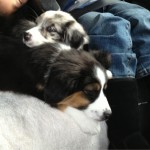 on the road with puppies 2